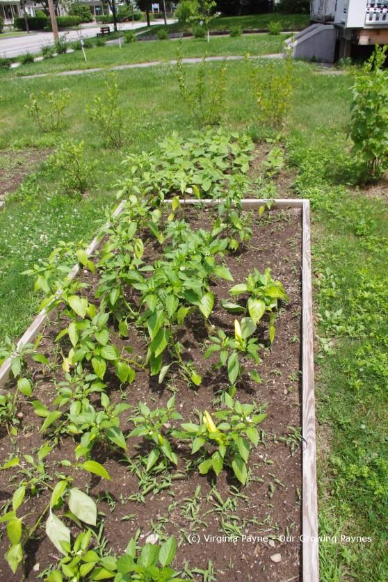 Garden progress 7 2013