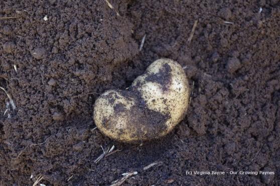 Potato harvest 4 2013